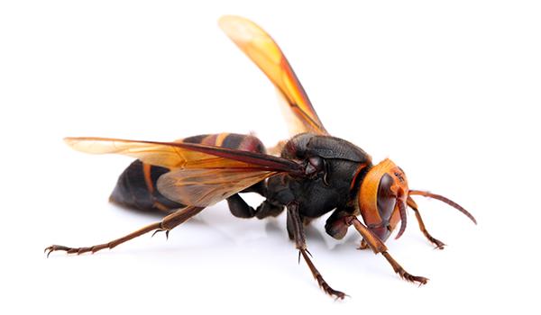 スズメバチの画像 p1_9